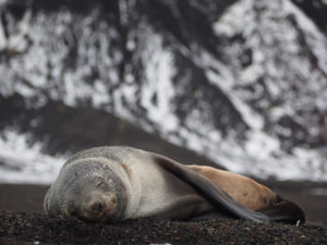 Fur seal asleep on Deception Island