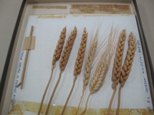 Different kinds of wheat that was modelled for the $2 bank note