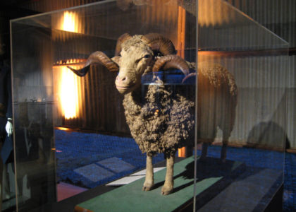 Taxidermy Spanish Merino sheep in display case
