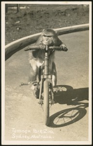 Postcard of a monkey cyclist on the circus arena at Taronga Park Zoo c.1948. Powerhouse Museum collection Gift of Jocelyn Pitts, 2009.