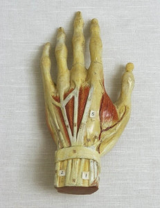 Anatomical model of human hand