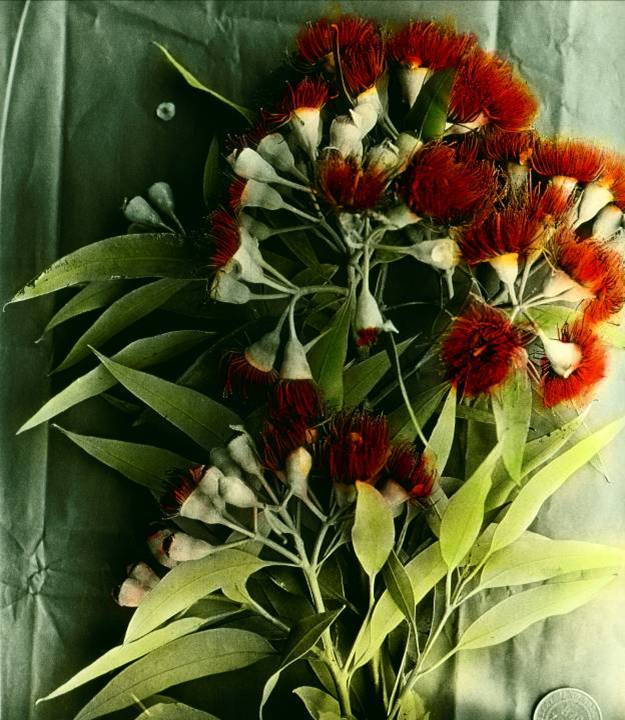 Red flowering gum Eucalyptus Corymbia Ficifolia by Albert and Margaret Morris, 1930s. Image courtesy Barrier Field Naturalist Club and Broken Hill Regional Library.