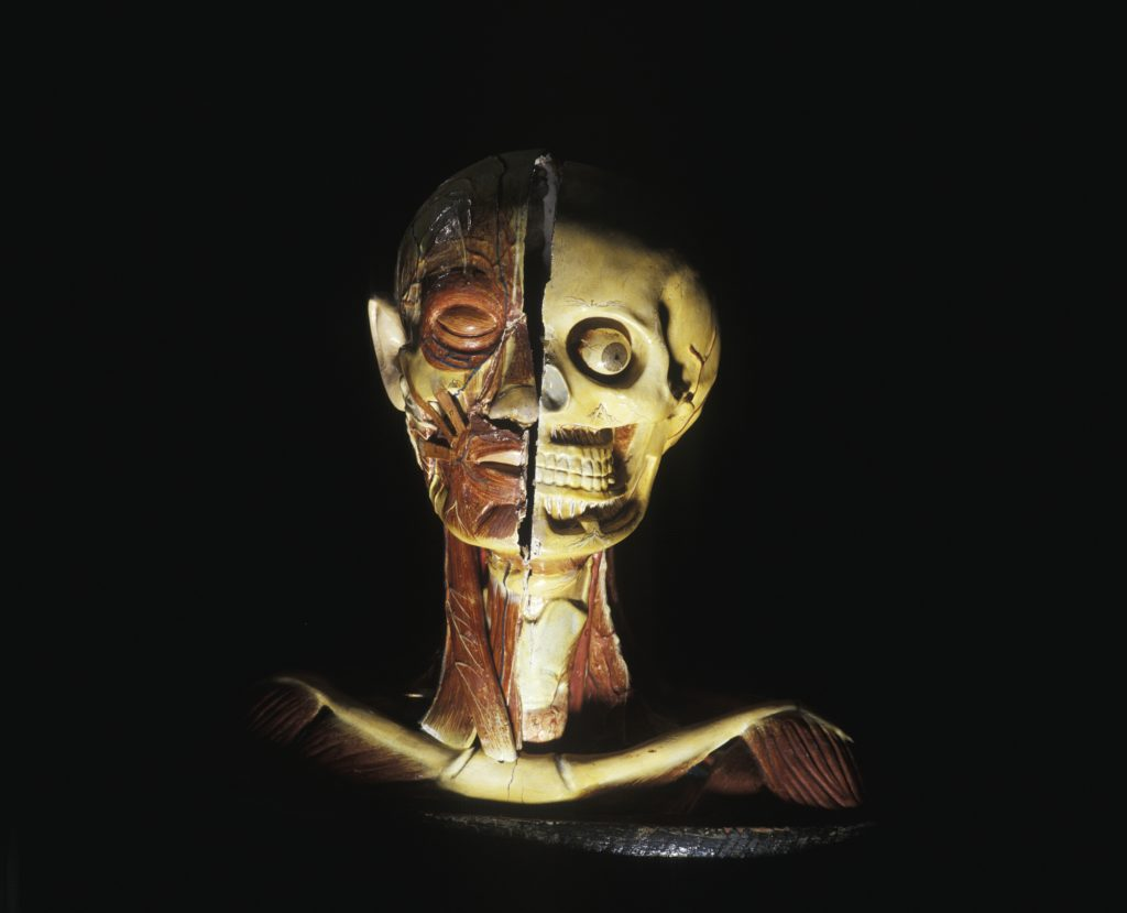 Anatomical model of a human head and shoulders made of painted plaster and papier-mache and mounted on an oval wooden base. The model shows a bisected head. One side shows the muscles, veins and nerves with a closed eye and skin covered ear, while the other side shows the skeletal structure including eyeball and teeth, with roots and nerves. Both sides of the neck and shoulders show the collar bone with muscles and veins. There are two cylindrical holes on both ends of the mount and there is some cracking to the paint all over the model.