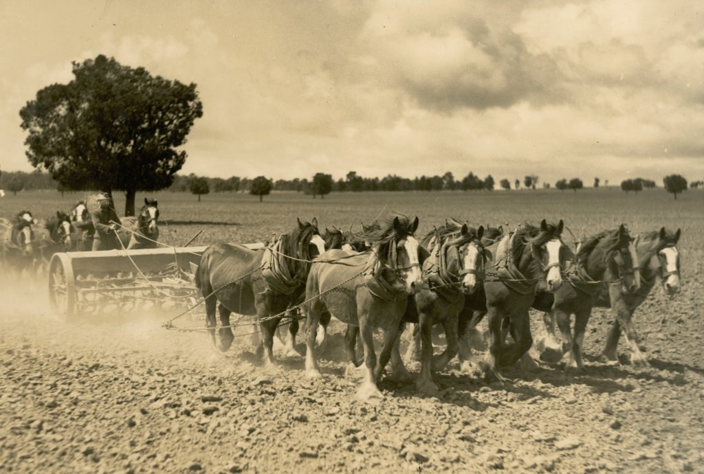 Black and white photograph of two, combined seed and fertiliser drills, each drawn by 10 draft horses, across a paddock to plant seed.